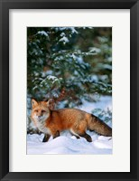 Framed Red Fox Walking In Snow, Montana
