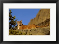 Framed Mountain Lion, Montana
