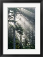 Framed Sun Rays Shining Through Foggy Pine Trees
