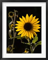 Framed Backlit Sunflower, Santa Fe, New Mexico