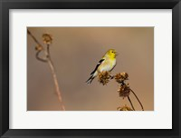 Framed American Goldfinch Feeding On Sunflower Seeds