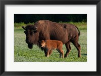 Framed American Bison And Calf