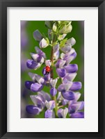 Framed Ladybug On A Lupine Flower