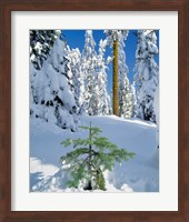 Framed Scenic Of New Snow On Forest, Oregon