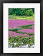 Framed Purple Loosestrife Flowers In A Marsh, Oregon