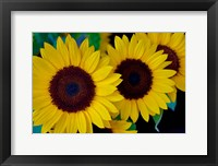 Framed Dune Sunflower Trio