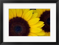 Framed Close-Up Detail Of Dune Sunflowers