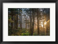 Framed Sunset Rays Penetrate The Forest In The Siuslaw National Forest