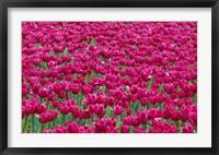 Framed Field Of Purple Tulips In Spring, Willamette Valley, Oregon