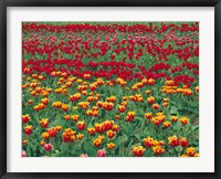 Framed Field Of Colorful Tulips In Spring, Willamette Valley, Oregon