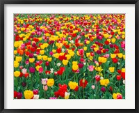 Framed Field Of Bright Tulips In Spring, Oregon