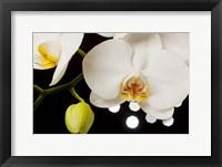 Framed White Hybrid Orchids On Black
