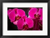 Framed Purple Hybrid Orchids On Black