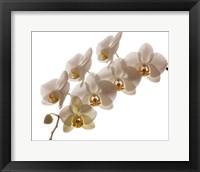 Framed White Hybrid Orchids On White