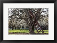 Framed Ladder In An Orchard Tree, Oregon