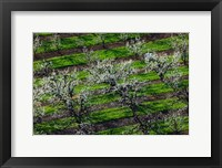 Framed Rows Of Orchard Trees, Oregon