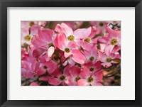 Framed Pink Flowering Dogwood