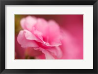 Framed Bright Pink Azalea