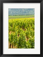 Framed Winery And Vineyard In Dundee Hills, Oregon