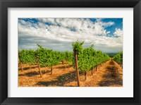 Framed Dundee Hills Vineyard, Oregon