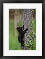 Framed Black Bear Cub Climbing A Tree