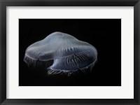 Framed Moon Jellyfish In Aquarium