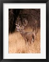 Framed White Tailed Deer Stays On Alert