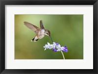 Framed Black-Chinned Hummingbird Feeding