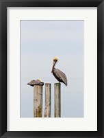Framed Brown Pelicans Resting On Piling
