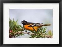 Framed Baltimore Oriole Perched