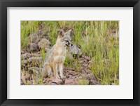 Framed Gray Fox On A Hillside