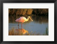 Framed Roseate Spoonbill, South Padre Island, Texas