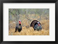 Framed Rio Grande Wild Turkeys