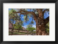 Framed Old Cottonwood Tree And Fence