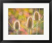 Framed Backlit Teasel Weeds