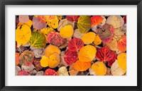 Framed Autumn Aspen Leaves In A Pool