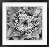 Framed Whipple's Fishhook Cactus (BW)