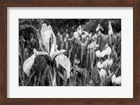 Framed Wild Iris Field In The Manti-La Sal National Forest, Utah (BW)