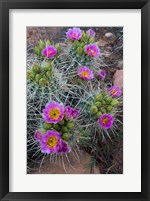 Framed Whipple's Fishhook Cactus Blooming And With Buds
