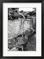 Framed Desert Juniper Tree Growing Out Of A Canyon Wall (BW)