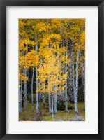 Framed Yellow Aspens In The Flaming Gorge National Recreation Area, Utah