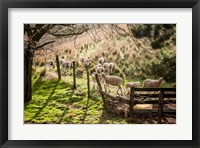 Framed Sheep And Spring Lambs