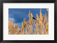 Framed Red-Winged Blackbird On Ravenna Grass