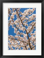 Framed Cherry Tree Blossoms In Spring, Washington State