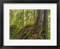 Framed Western Red Cedar Growing On A Boulder, Washington State