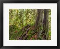 Framed Western Red Cedar Growing On A Boulder, Washington State