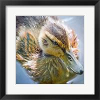 Framed Close-Up Of A Mallard Duck Chick