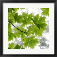 Framed Big Leaf Maples In Summer