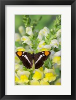 Framed California Sister Butterfly On Yellow And White Snapdragon Flowers