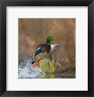 Framed Mallard Duck Takes Flight Off Lake Washington